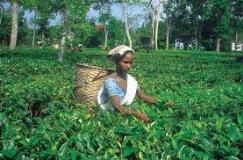 ASSAM TEA, ASSAM TEA Reviews, ASSAM TEA Prices, India, Wine, Beer
