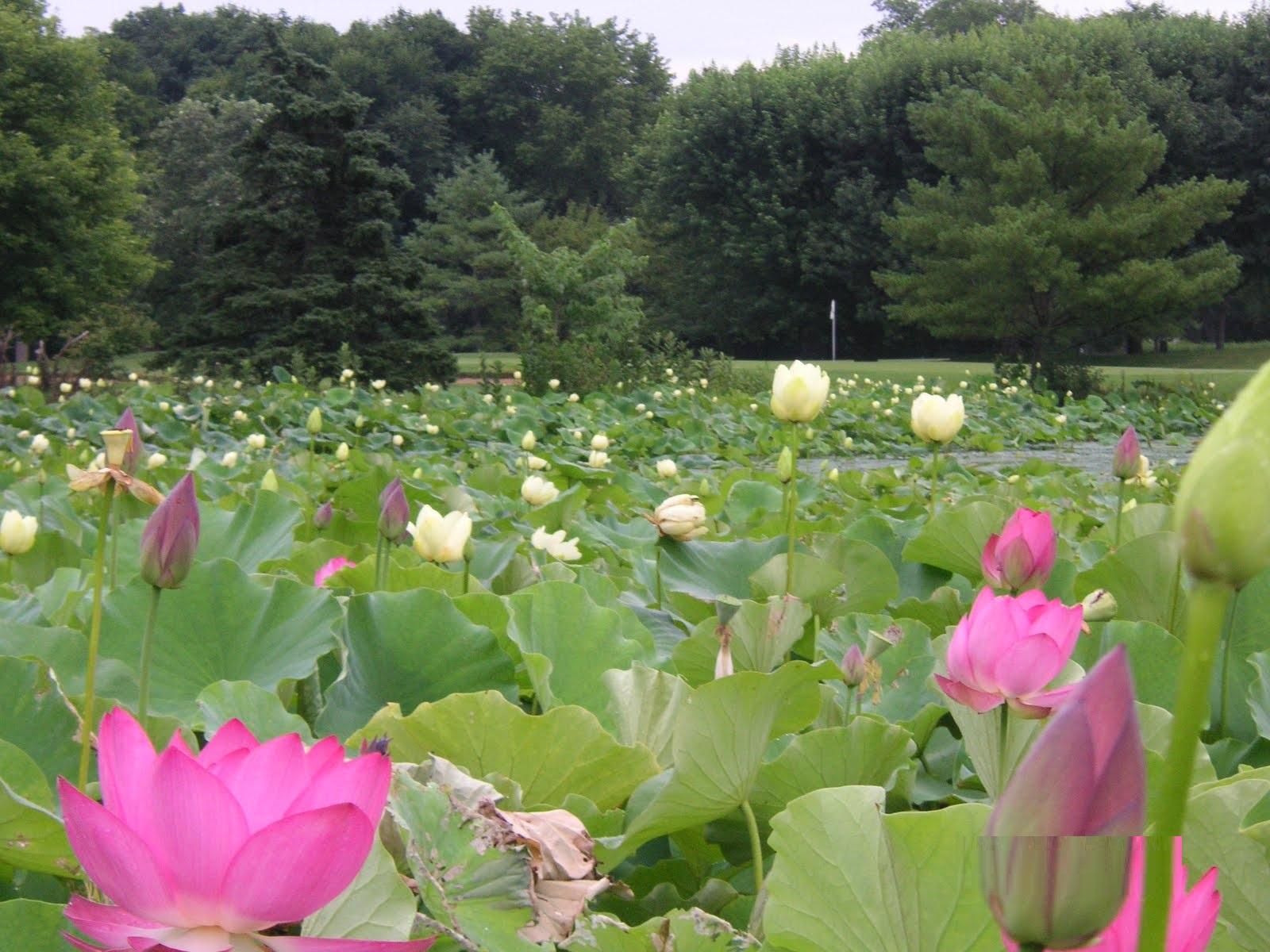 Lotus Pond Park - Hyderabad Image